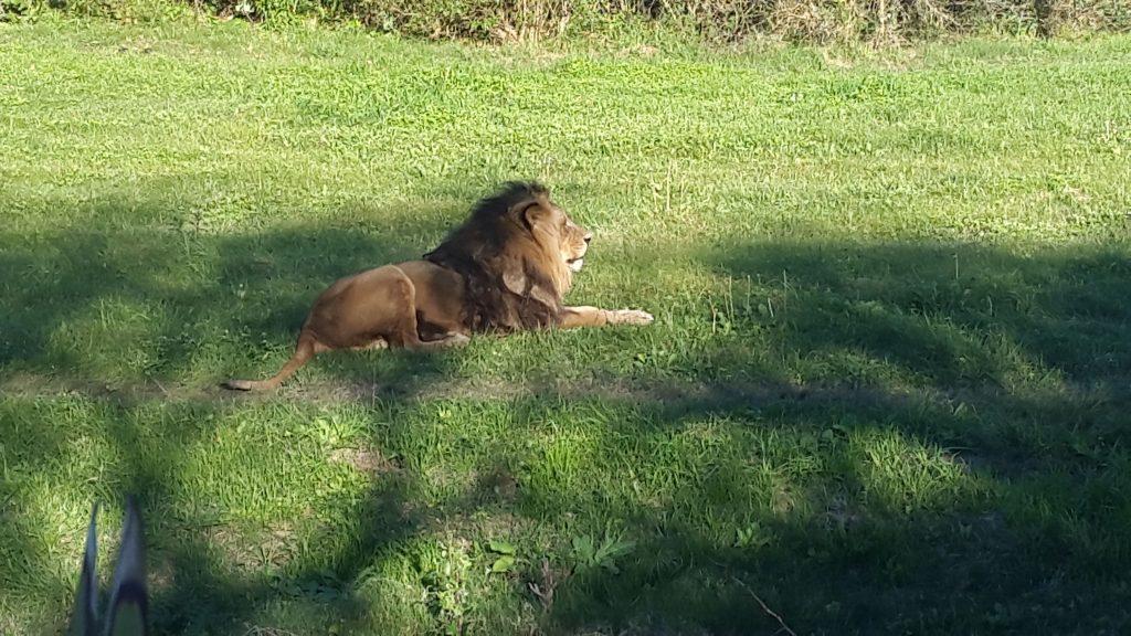 Un león en el Parque Lecocq