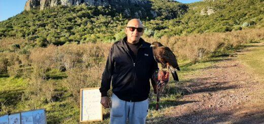 Cetrería en Uruguay: un halcón en el Cerro Arequita